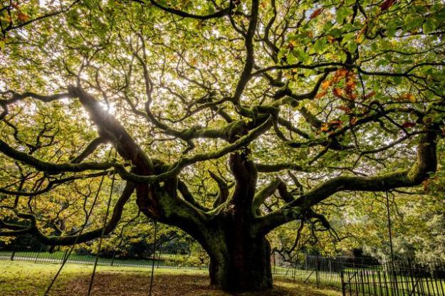 Allerton Oak Poems